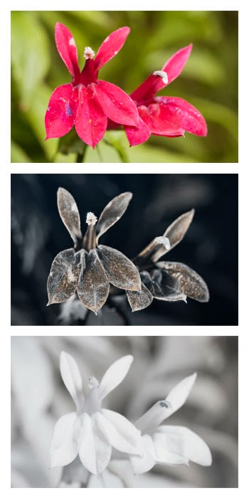 Comparison of Lobelia cultivar flowers photographed in visible light (top), ultraviolet light (middle), and infrared light (bottom). The flower on the right is missing its top left lobe.