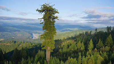 Hyperion - el árbol más alto del mundo