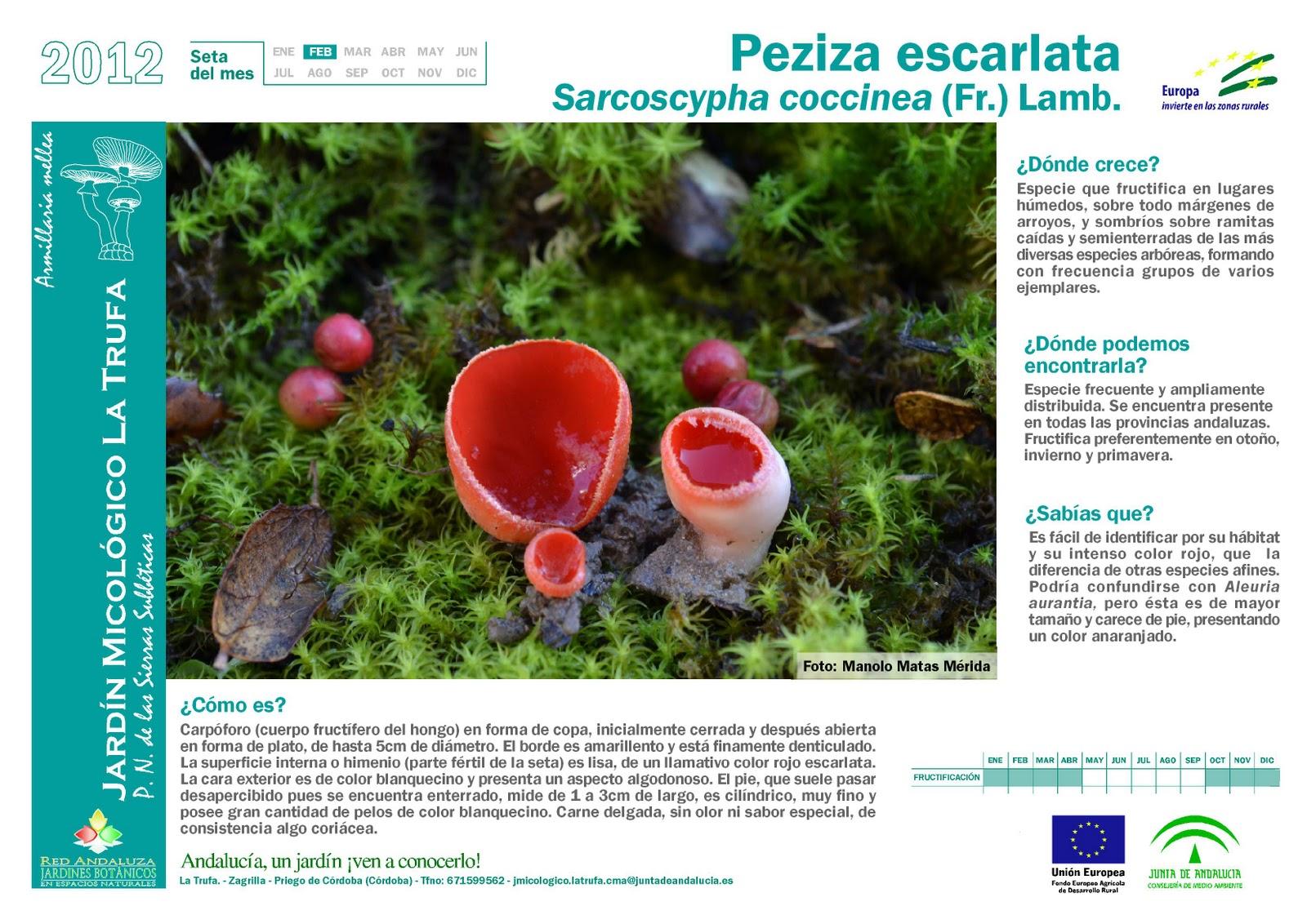 Sociedad micologica granadina seta del mes de febrero for Jardin micologico la trufa