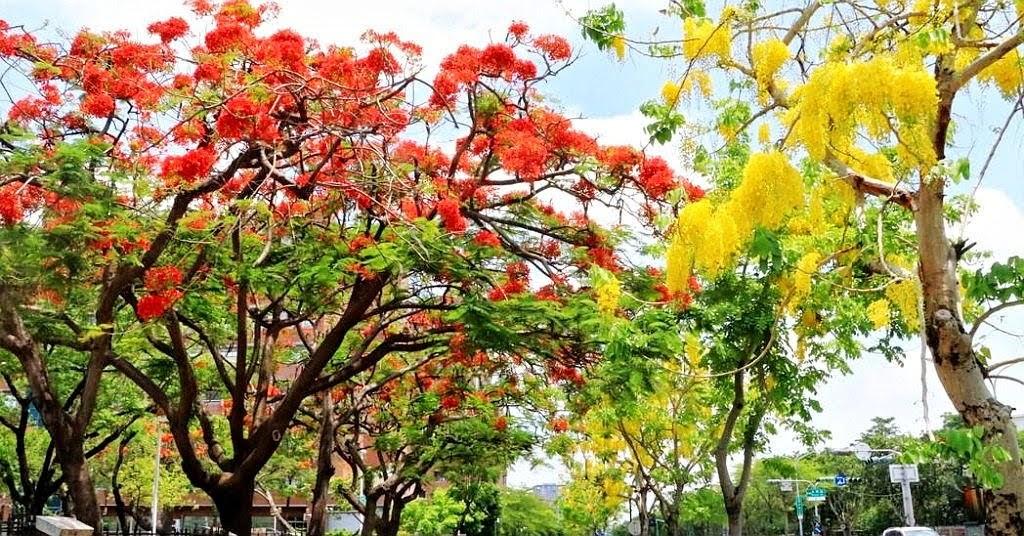 台南初夏「黃綠紅」綻放|阿勃勒、鳳凰花、小葉欖仁為夏季打開序章