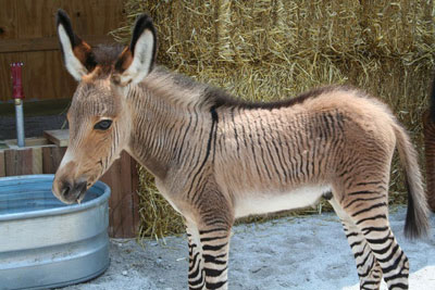 Zonkey 13 Hewan Hybrid Aneh Hasil Kawin Silang