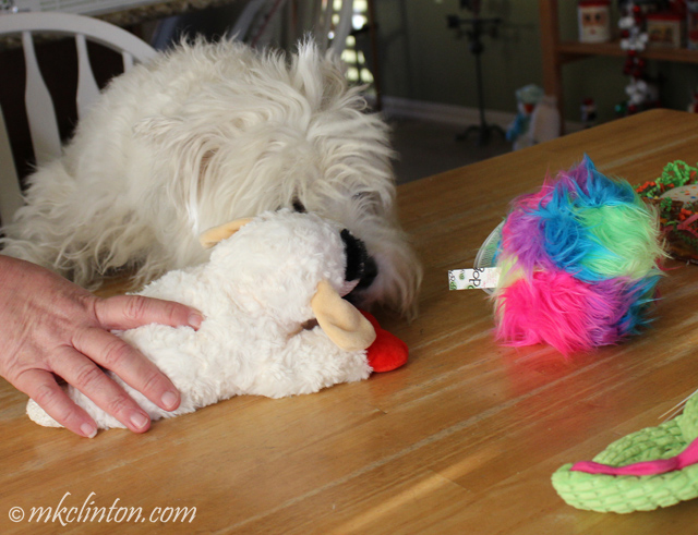 Westie loves Lamb Chop