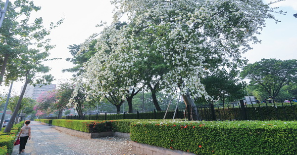 台中南區健康公園白花美人樹,白色美人花
