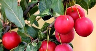 cara makan buah plum untuk diet cara mengkonsumsi buah plum untuk diet manfaat buah plum hitam untuk diet buah plum adalah buah plum harga efek samping buah plum rasa buah plum buah plum kering berbahaya