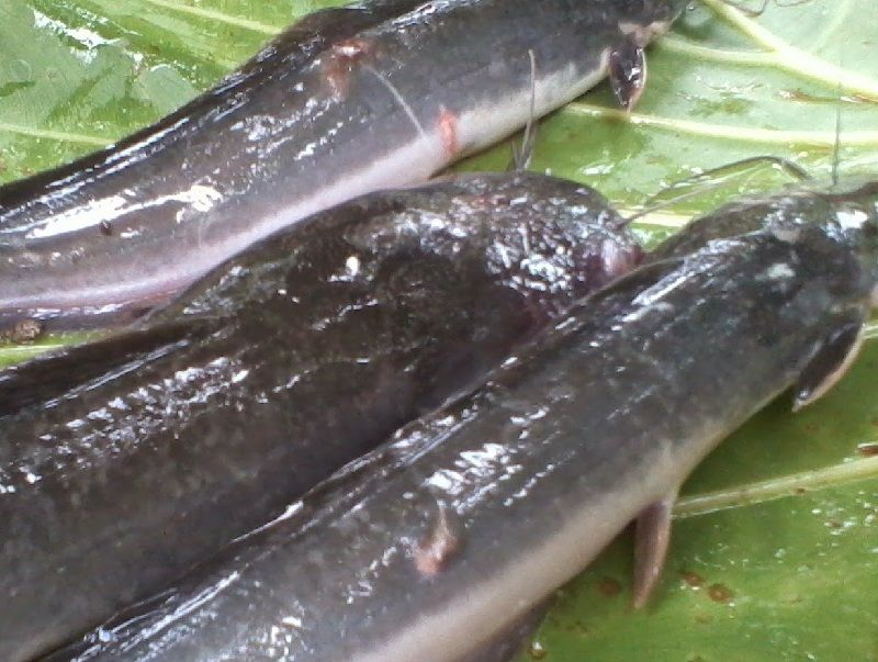 cara mengobati ikan lele yang menggantung