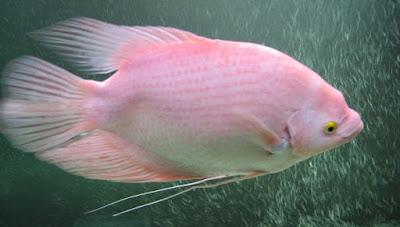 Rahasia Umpan Mancing Ikan Gurame Di Kolam