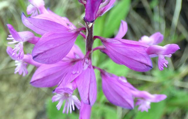 Floare salbatica mov pajiste Bisoca Romania Polygala comosa - Poligala, Amareala