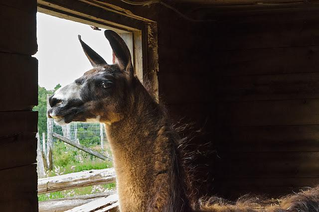 Le lama dans la ménagerie