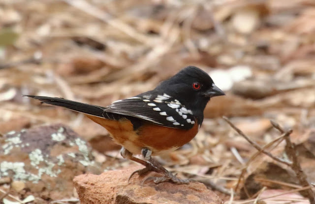 Spotted Towhee raised crown feathers
