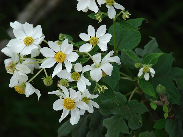Starr_081230-0655_Montanoa_hibiscifolia.