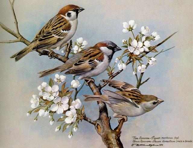 bài thuốc từ chim sẻ