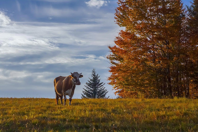 krowa, gory, hala, jesien, antymiasto, blog, wies