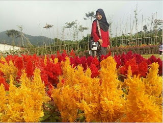 Lokasi Dan Tiket Masuk Kutabawa Flower Garden Purbalingga