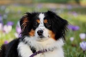 7 giống chó tuyệt đối dễ thương nhất