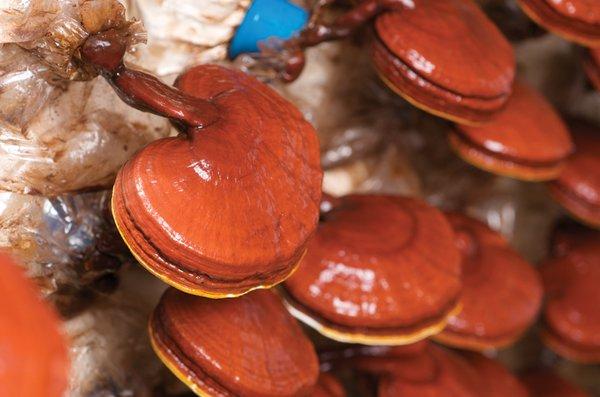 nấm linh chi đỏ chữa ung thư hiệu quả