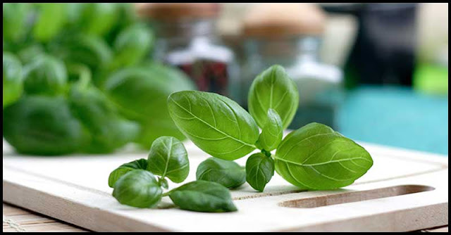 Basil Leaves To Help Beautify The Skin