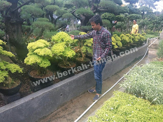 tanaman hias bonsai legistrum