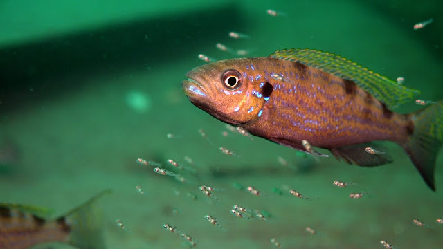 'Left-handed' fish and asymmetrical brains