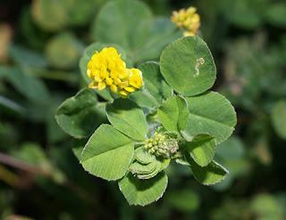 Flor amarilla de fenarda (Trifolium campestre