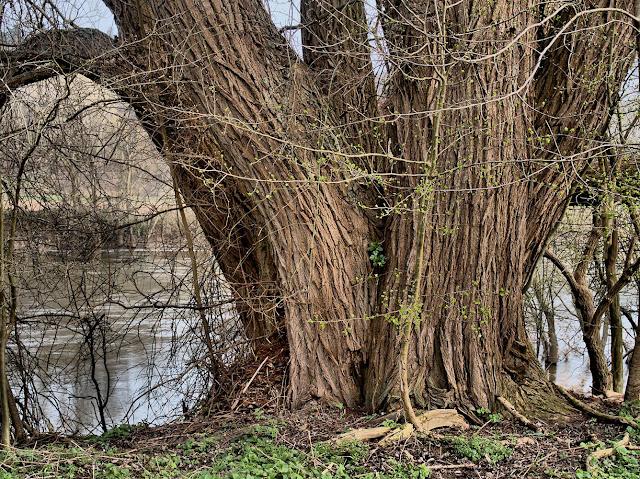 Ein mächtiger Baum am Weserufer