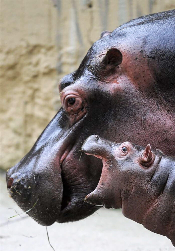 These 23 Adorable Baby Hippos Will Cheer You Up