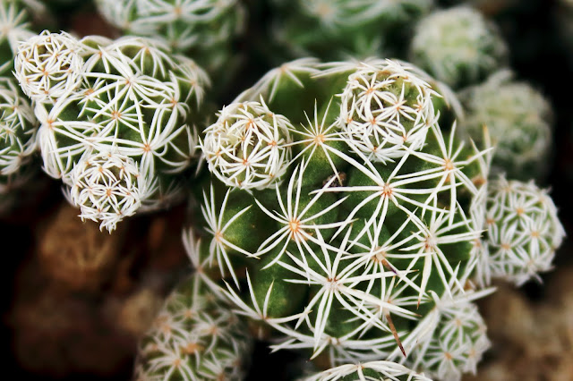 A photo of Thimble Cactus close up emphasizing the star shaped aureoles-thorns
