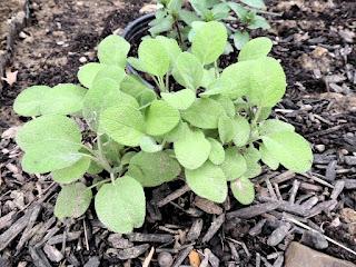 Herbs in the Ohio Garden - Sage