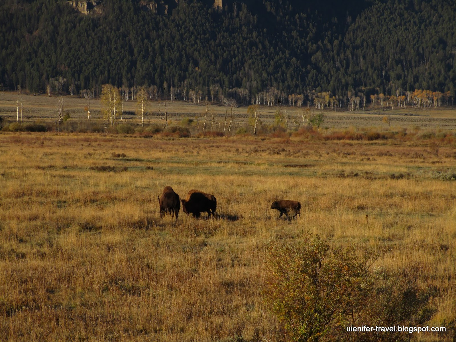 Бизоны. Йеллоустоун, Вайоминг. (Bisons. Yellowstone National Park, WY)