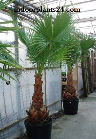 Washingtonia Filifera Palmae Desert fan Palm Indoor House Plant