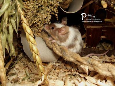 Farbmaus Chilli in ihrem Käfig