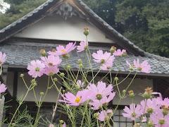 圓久寺のコスモス