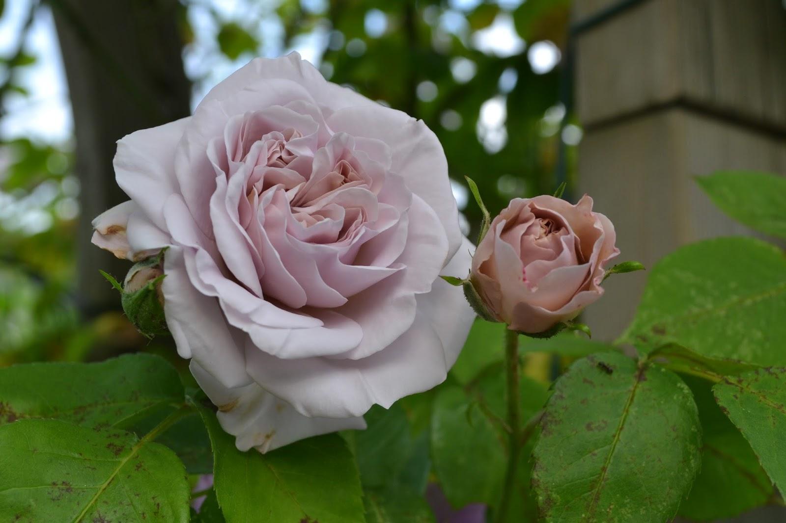 blaue braune rosen morbide rosen 2016 page 3 mein sch ner garten forum. Black Bedroom Furniture Sets. Home Design Ideas