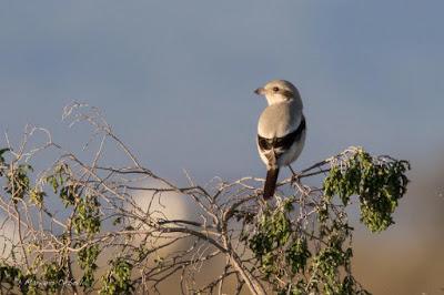 Lanius pallidirostris - Delta del Ebro
