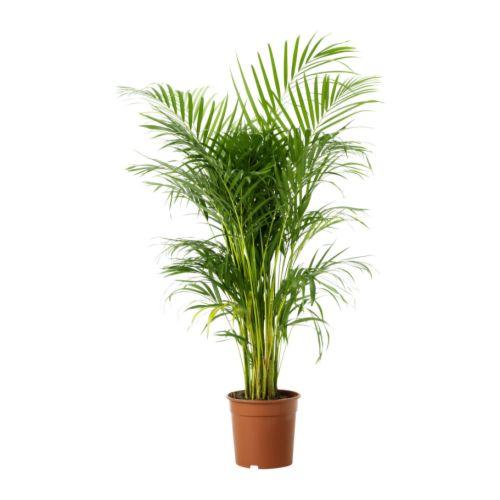 Una Casa Sana: {Plantas Purificadoras} 2: ARECA (Chrysalidocarpus Lutescens)