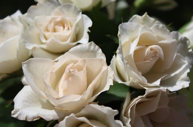 mawar putih indah