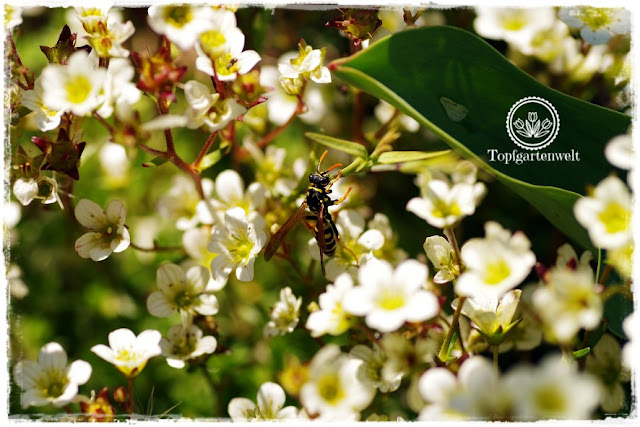 Gartenblog Topfgartenwelt Mein Frühlingsgarten: Seifenkraut mit Wespe