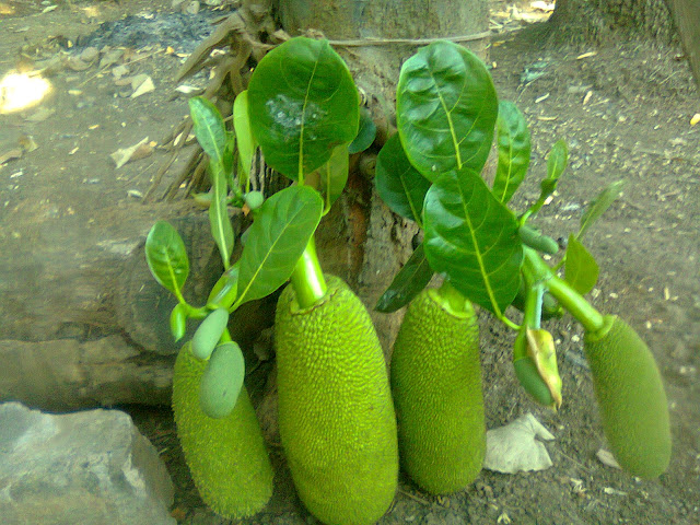 Pohon Nangka Berbuah Lebat