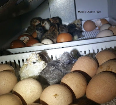 Just hatched chicks in incubator
