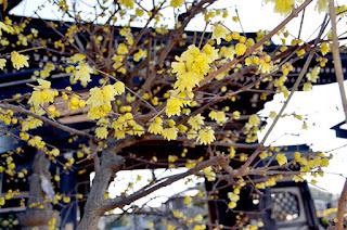 全徳寺でロウバイ開花