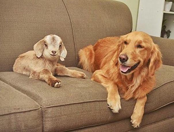 Kambing dan Anjing ini Bagai Ibu dan Anak