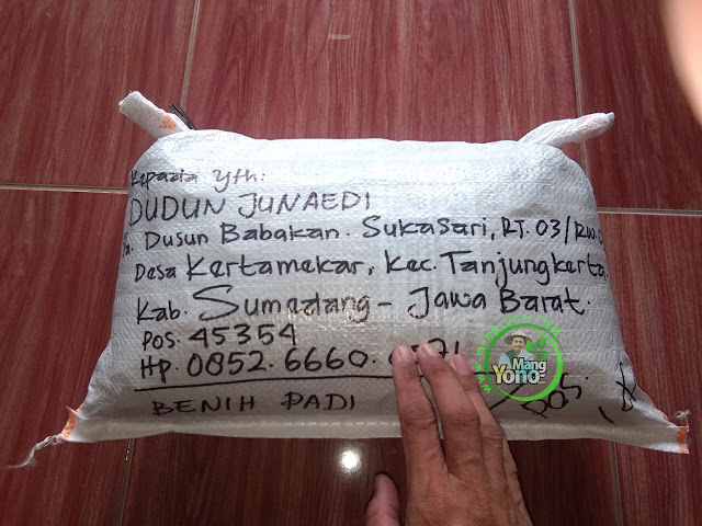 DUDUN J Sumedang, Jabar. Pembeli Benih Padi Unggul MSP 1 Modif - 95 HST Panen