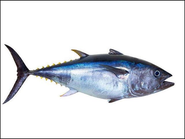 Gambar Ikan Tongkol