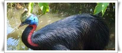 Burung kasuari mencari makanan