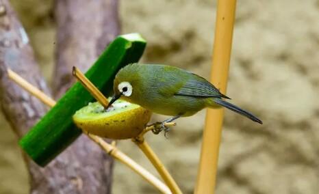 Rahasia Burung Pleci Nggacor Ngalas, Dengan Memberikan Pakan Dan Minuman ini