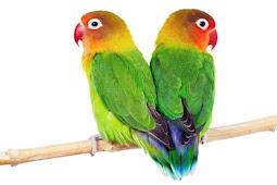 Vitamin Lovebird Lomba Agar Lebih Ngegedur Di Lapangan