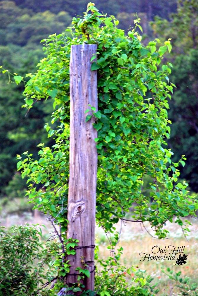 Vines gone wild