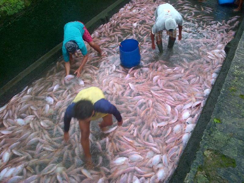Teknik Jitu Budidaya Ikan Nila