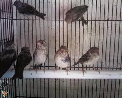 Makanan Burung Sanger Kunci Biar Sehat dan Cepat Bunyi Ngerol