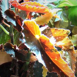 begonia-cane-like-pinafore