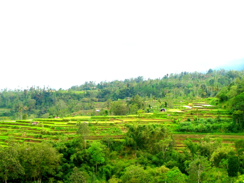 Rice terrace fields @ Ubud